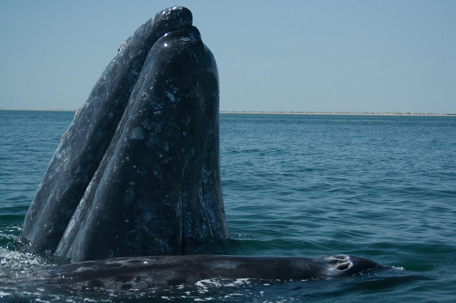 Balena grigia della Baja California