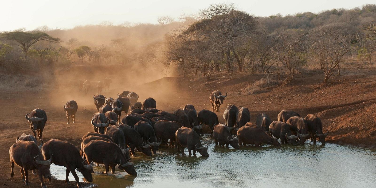 Bufali al Kruger Sudafrica