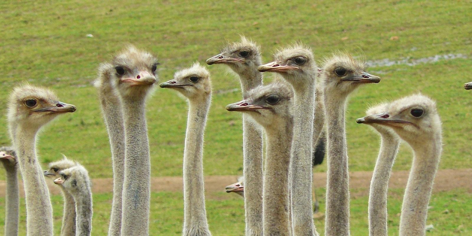 Struzzi in un viaggio in Sudafrica