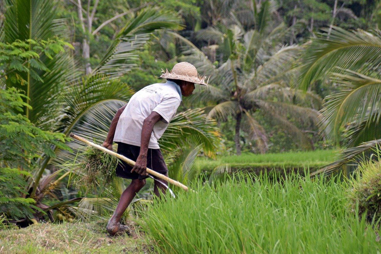 risaie-bali-contadino