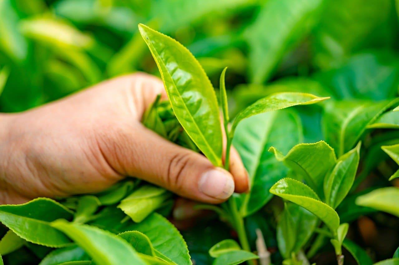 foglie-tè
