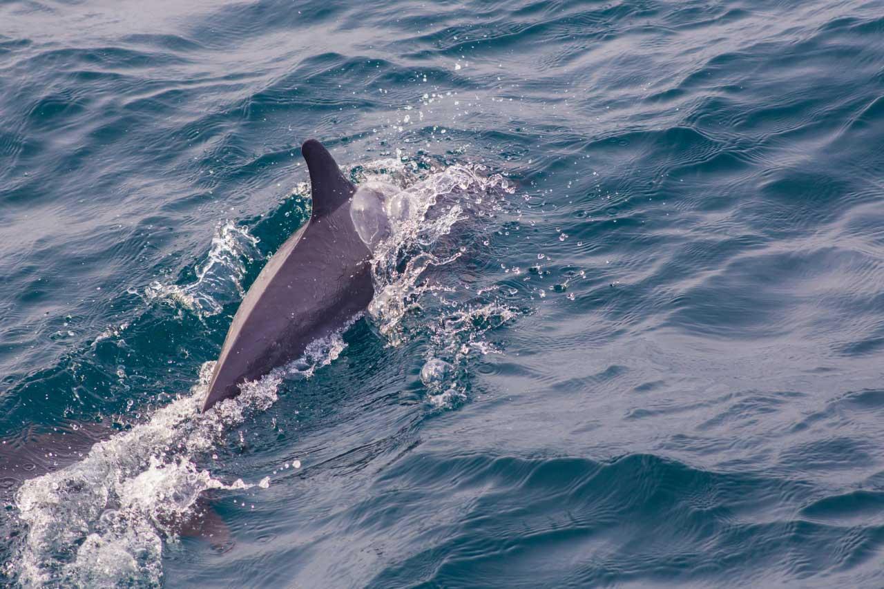 delfini-azzorre