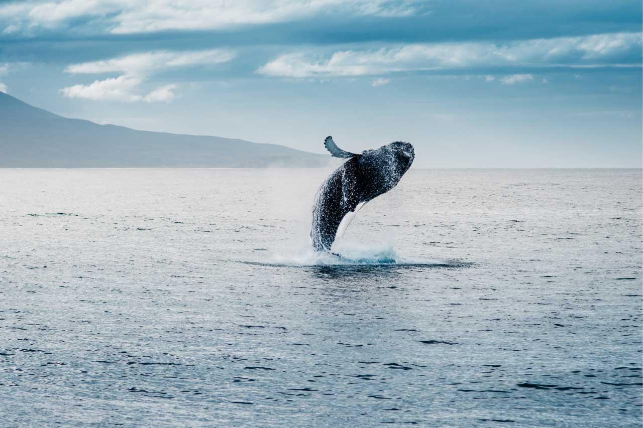 balena-islanda